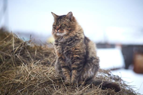 Looking away siberian cat on hay stock photo