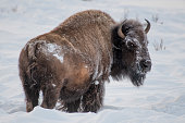 Winter scene in Yellowstone with Bison (buffalo) looking back at camera and moving west in Lamar Valley