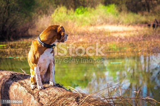 Portrait of looking back pure breed beagle dog seated at trunk lakeside. Big ears listening or hear concept. Happy