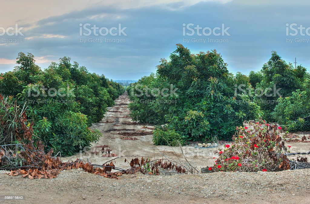 Looking between rows of the orchard. stock photo