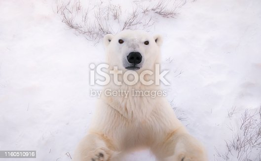 A unique perspective of a polar bear face, chest and forelegs, as he stands on his hind legs trying to reach the camera. His facial features and fluffy white fur are visible. The background shows the snow on the ground, with some vegetation.