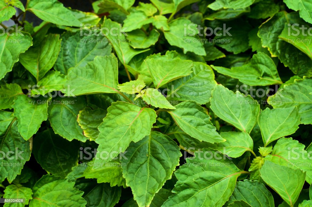 Looking down on large patchouli plant stock photo