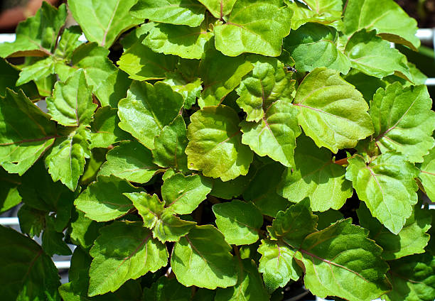 looking down on patchouli plant leaves stock photo