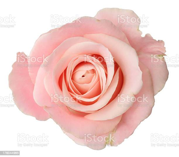 Looking down on the head of a pink rose picture id176044985?b=1&k=6&m=176044985&s=612x612&h=oum1mr6vx89gdyssv5bqbr71l5kozqzwqi15vydhcea=