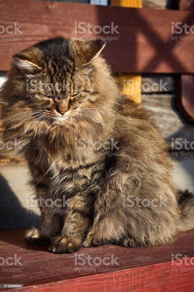 looking down siberian cat portrait stock photo