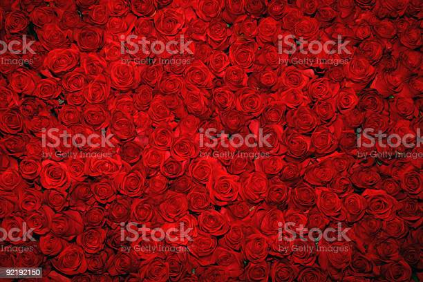 Looking down upon a bed of rich red roses picture id92192150?b=1&k=6&m=92192150&s=612x612&h=fwpumo jer3lb2ol8x jptxxx2o2 znfk5gci0sdmna=