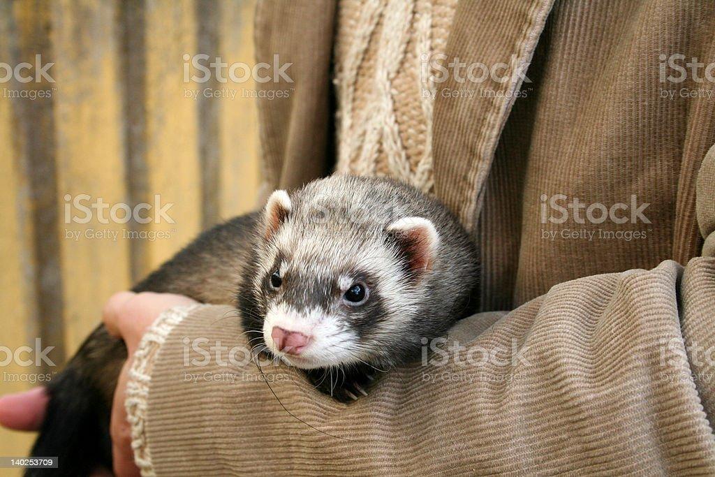 Looking Ferret stock photo