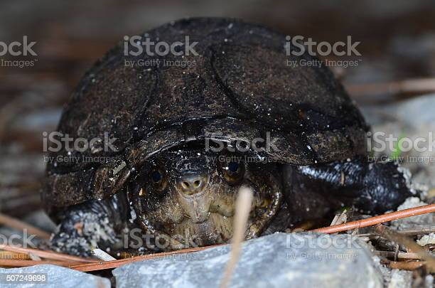 Looking into the eyes of a turtle on forest floor picture id507249698?b=1&k=6&m=507249698&s=612x612&h=19inyis in8b1fnfyzmflxg0ijyv2zs9q0j6ieeqamy=