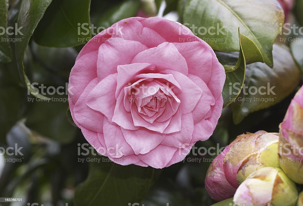 Round pink flower camellia on a large bush stock photo more round pink flower camellia on a large bush royalty free stock photo mightylinksfo