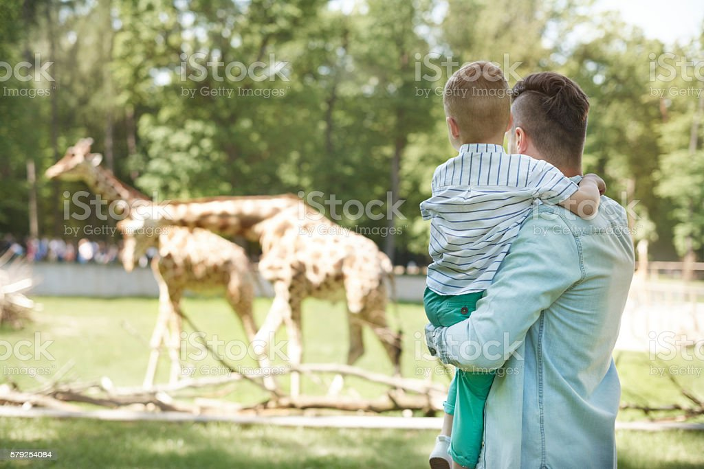 Looking on family of giraffes at the zoo foto stock royalty-free