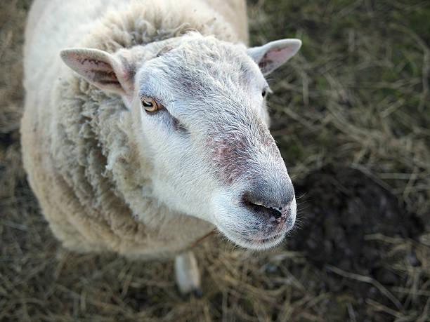 Looking Sheepish stock photo