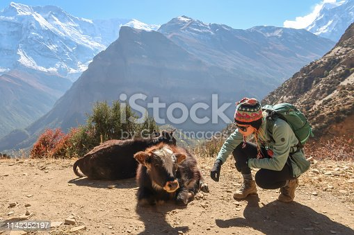 Looking the calf in mountain, Nepal