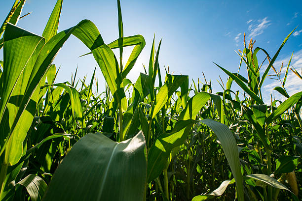 Looking Through Corn Field Agriculture Farming Crops up Close stock photo