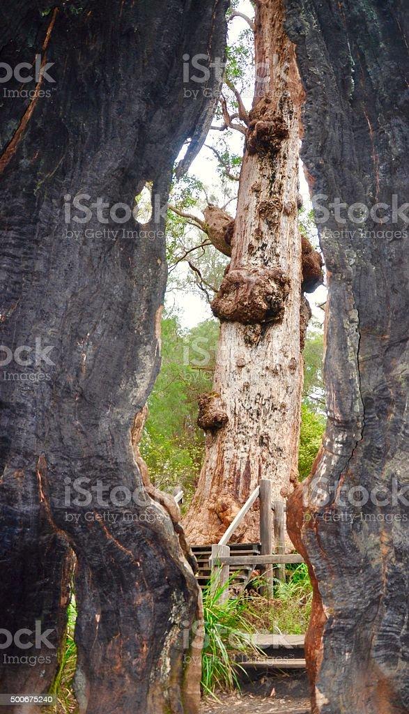 Looking Through the Giant Tingle Tree: Western Australia stock photo