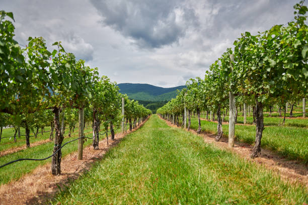 Looking through the grape vines at the dramatic clouds over the mountains Dramatic clouds just before a storm sit over the blue ridge mountains just past the vineyard. charlottesville stock pictures, royalty-free photos & images