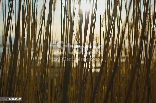 A view through the tall reed grass in the wetland area of the great salt lake state park in the evening sunlight.