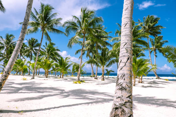 Looking through tropical palm trees on a white sand beach on a sunny day towards the South Pacific Ocean. Photographed on Upolu Island, Samoa. stock photo