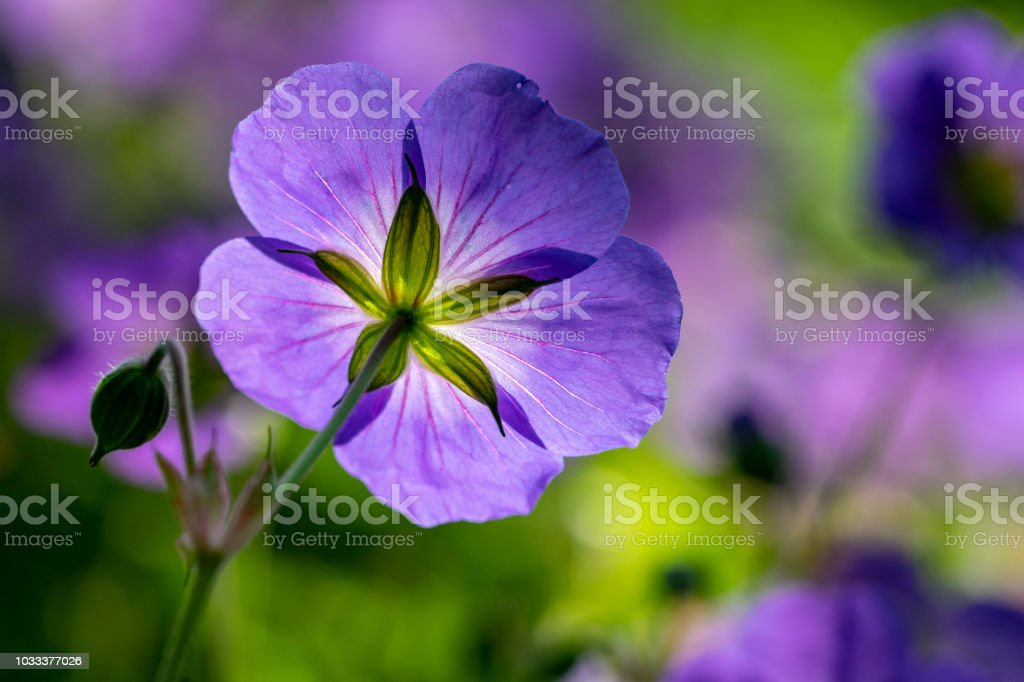 Looking Underneath The Purple Geranium Rozanne Also Known As