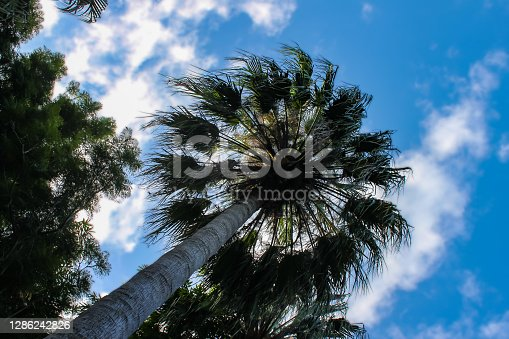 Taraw palm trees with the sky background, scientific name: Livistona saribus