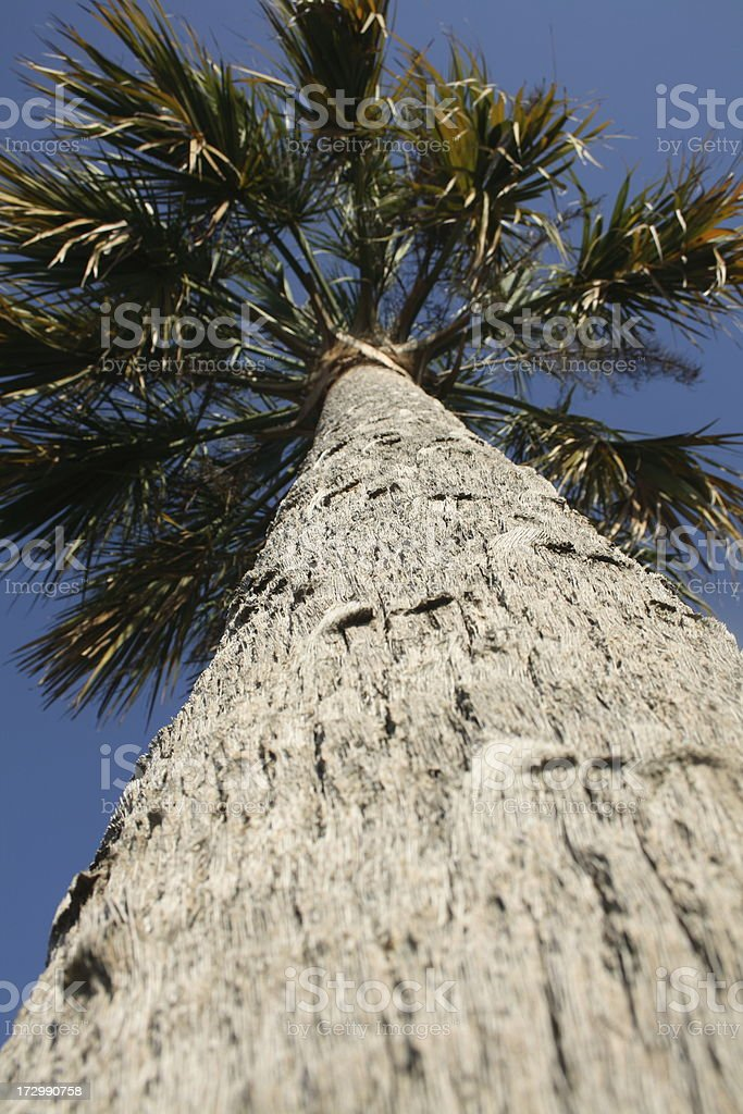 Looking up a Cabbage Palm royalty-free stock photo