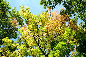 Foliage in a blue sky in autumn colors in sunlight at fall
