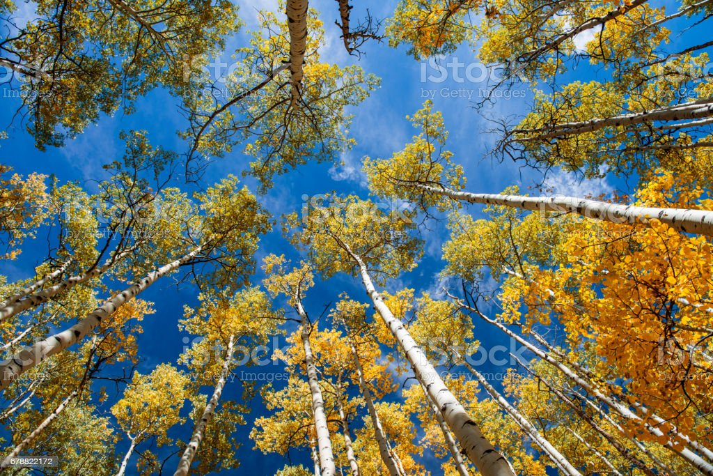 looking  up at Aspen trees in fall royalty-free stock photo