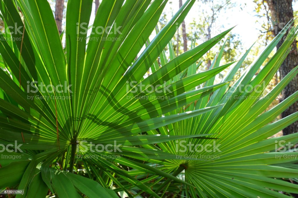 Looking up at back lit Saw Palmetto frond with forked shadows stock photo
