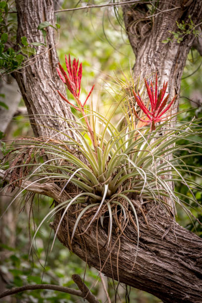 Looking Up at Bromeliads Blooming in Fork of Tree Trunk stock photo