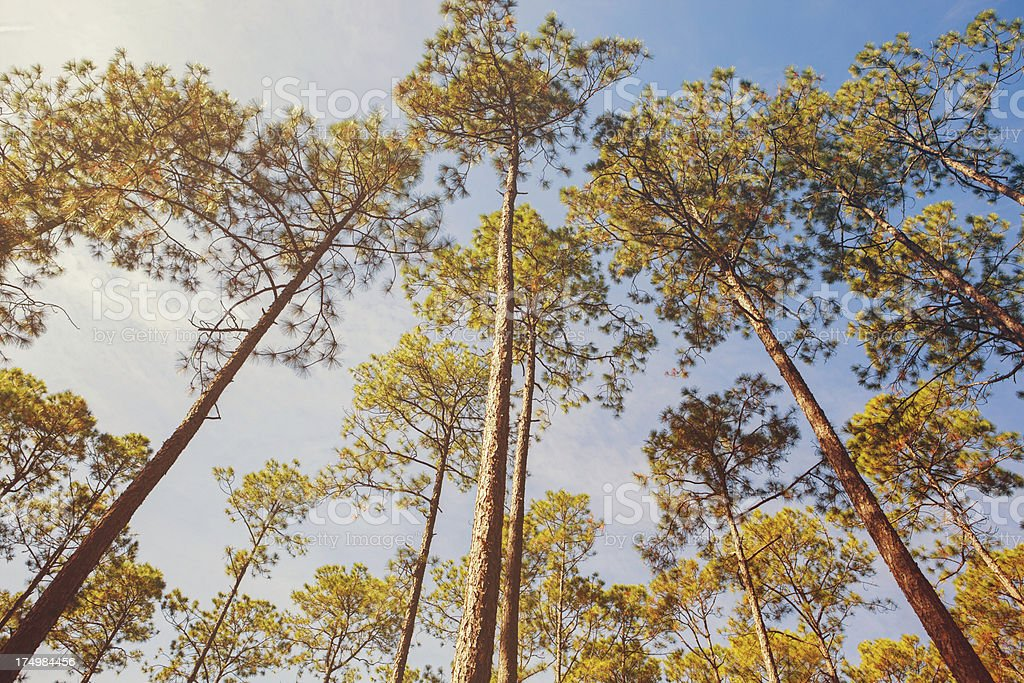 looking up at forest trees stock photo
