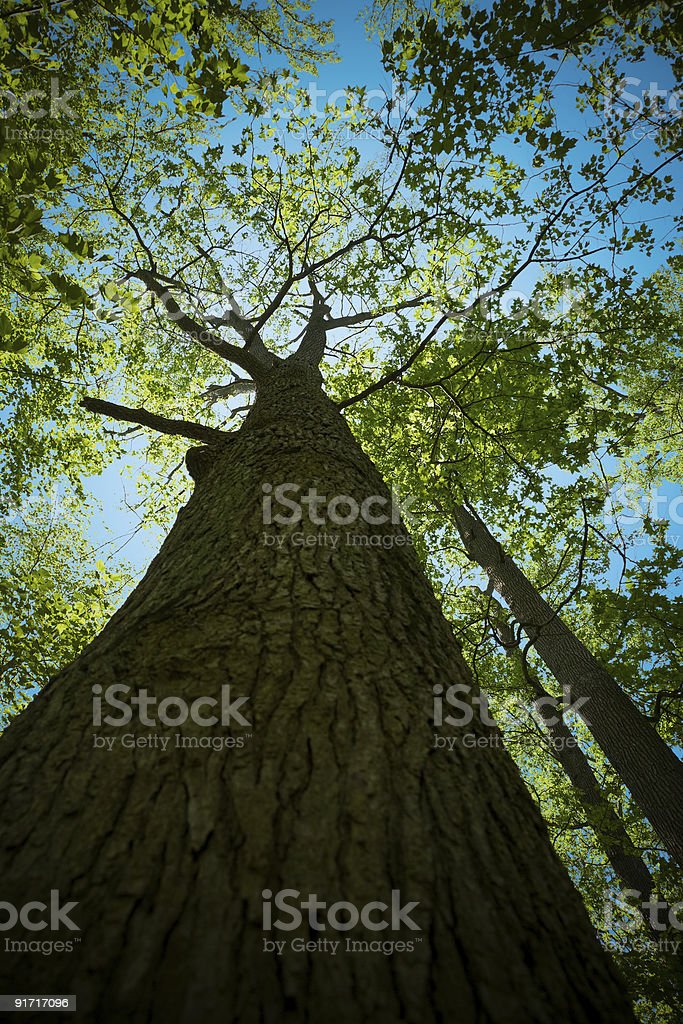 Looking Up at Giant Back Lit Tall Tree In Forest stock photo