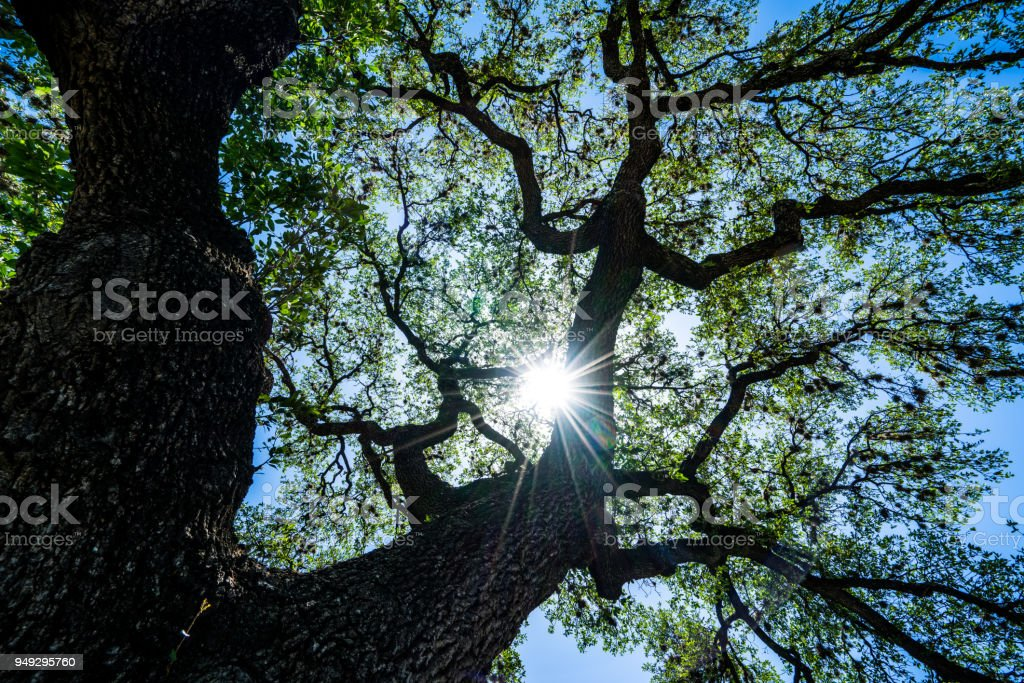 Nature patterns Looking up at Live Oaks spreading branches and leaves