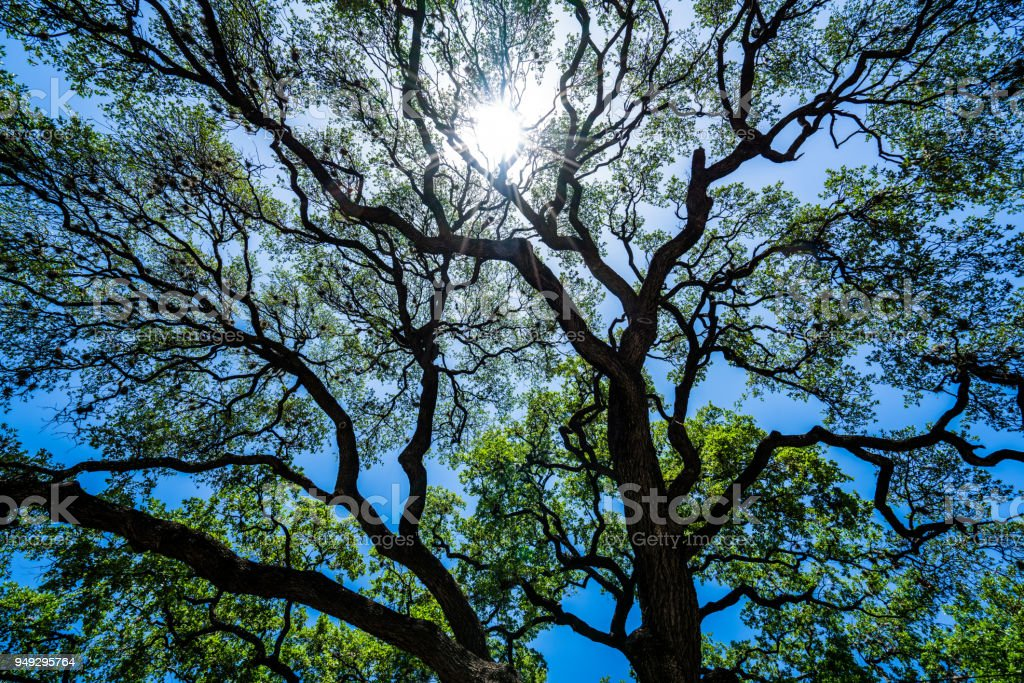 Nature patterns Looking up at Live Oaks spreading branches and leaves...