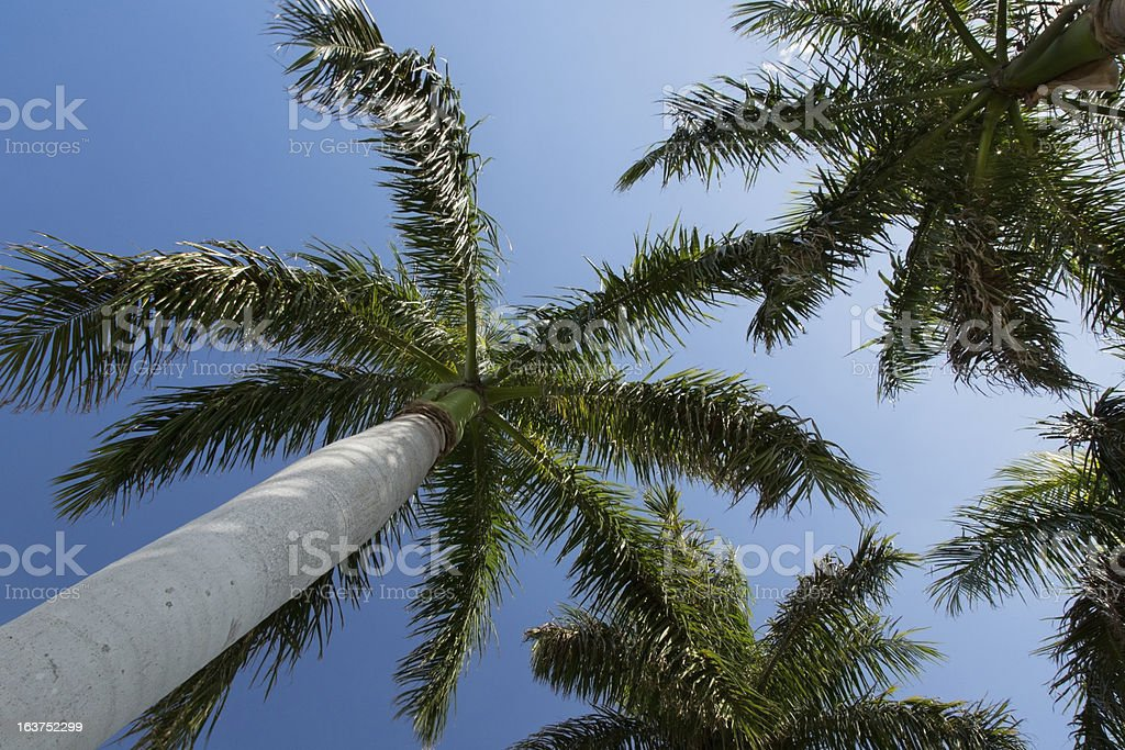 Looking Up at Palm Trees royalty-free stock photo