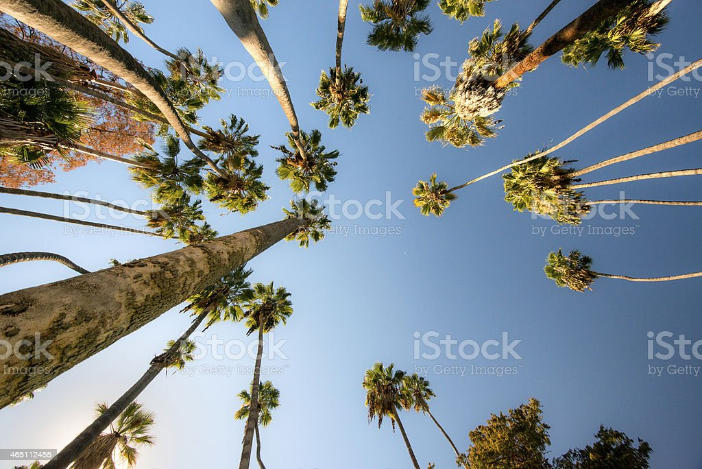 Looking Up at Palm Trees (XXXL) stock photo