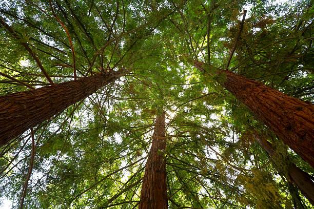 Sie sich in der Redwood Trees – Foto
