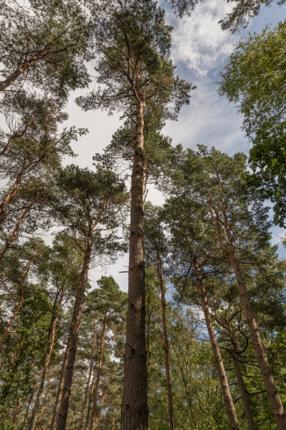 looking up at tall pine trees in surrey, uk. - pinaceae stock photos and pictures