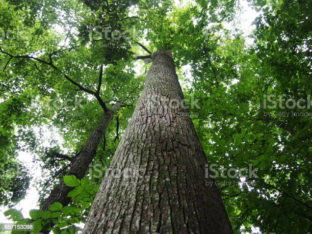 Photo of Looking up at tall trees in forest