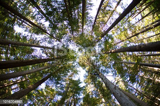A view looking up in a forest in British Columbia, Canada on a summers day.