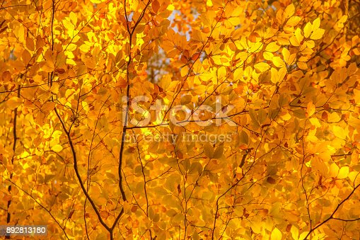 istock Looking up at the tree canopy showing bright autumn leaves in bright color 892813180
