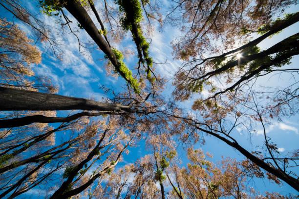 kijken op bomen na een bushfire - herbebossing stockfoto's en -beelden