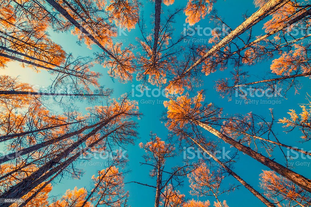 looking up at trees and clear blue sky stock photo