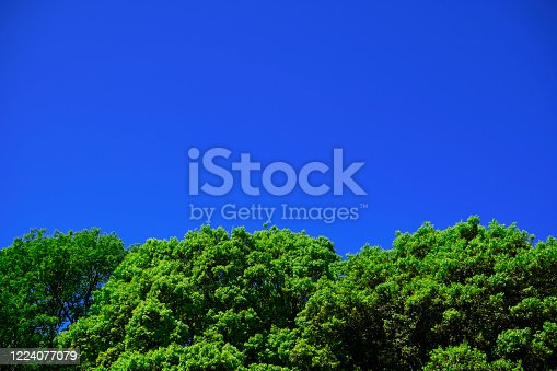 Looking up at treetops and the clear sky with copy space.