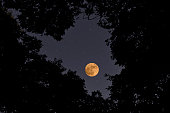 Looking up at treetops and full moon with copy space.