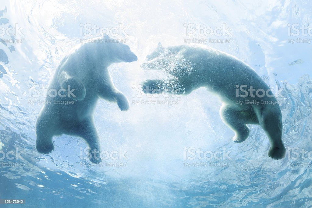 Looking Up at Two Polar Bear Cubs Playing In Water stock photo