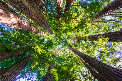 Looking up in a Redwood trees forest, California