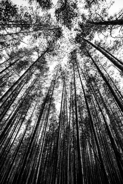 Looking up in nordic forest stock photo