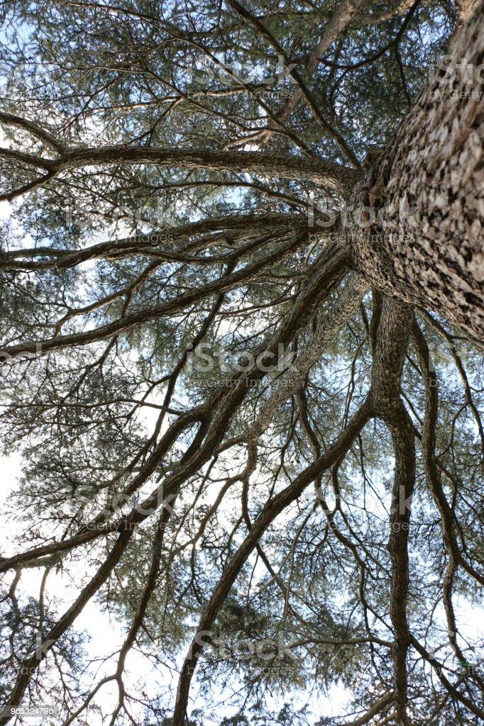 Looking up into a big tree zbiór zdjęć royalty-free