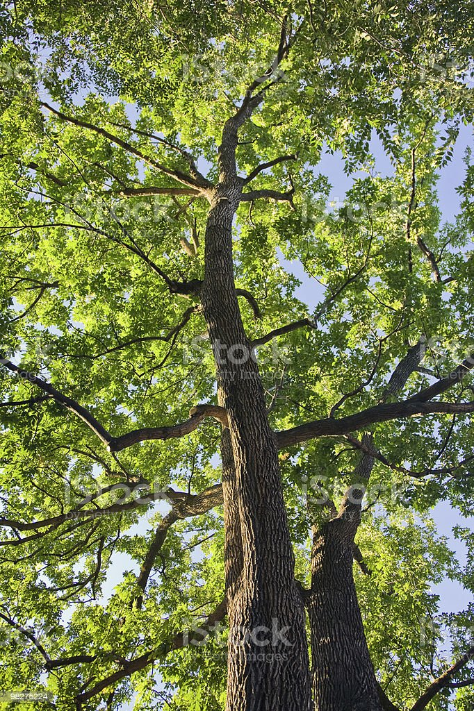 Looking up into a Green Tree royalty-free stock photo