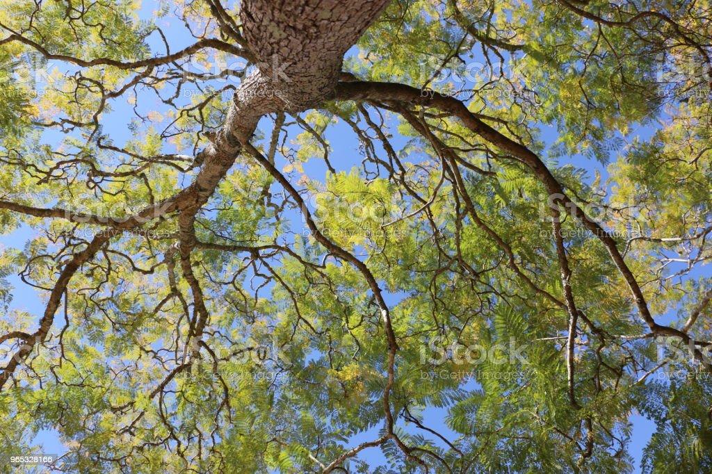 Regardant vers le haut dans un arbre Jacaranda - Photo de Algue vert jaunâtre libre de droits