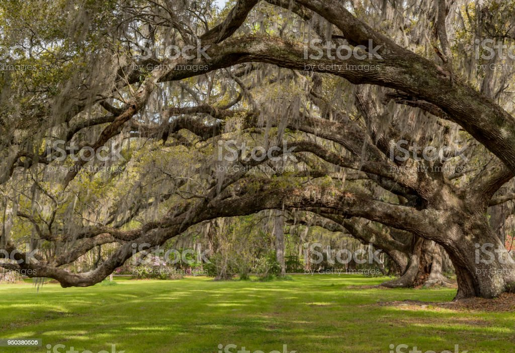 Looking Up Into Live Oak Canopy across green lawn